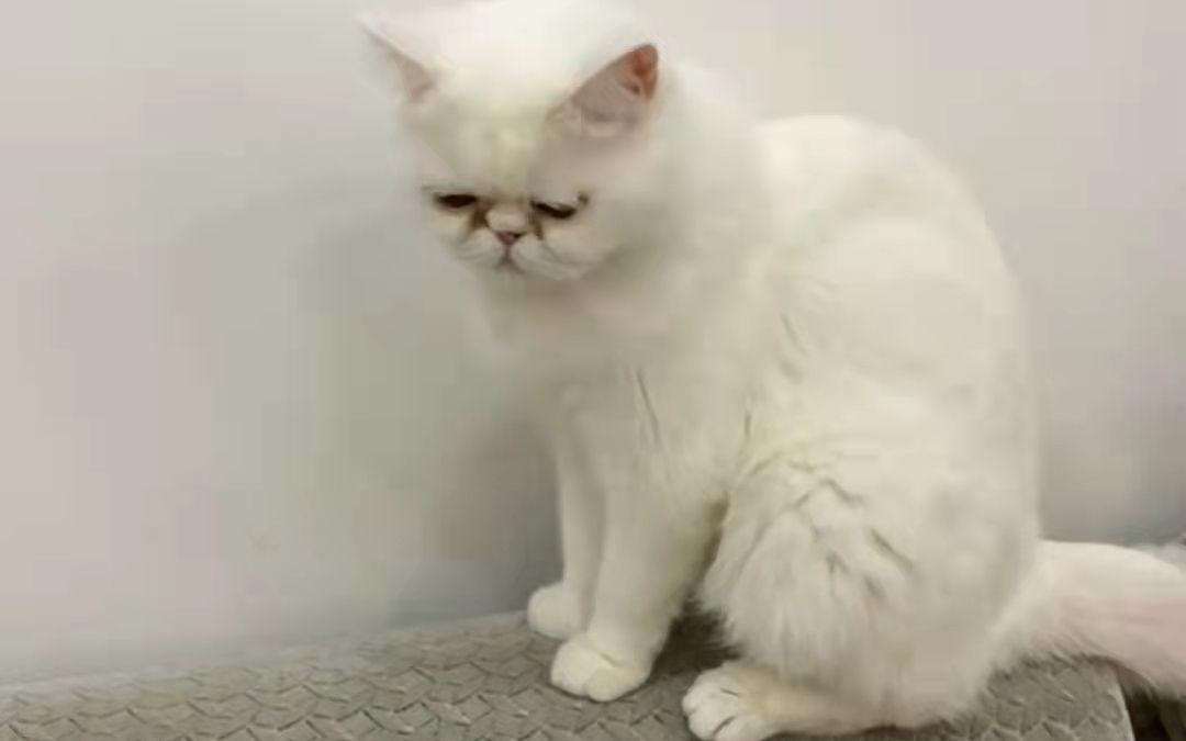 刘女士家的猫。受访者供图